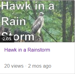 hawk in a rainstorm