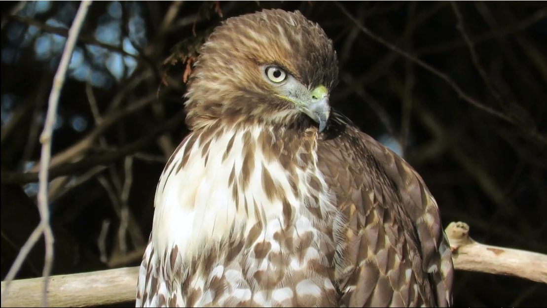 Red Tailed hawk closeup